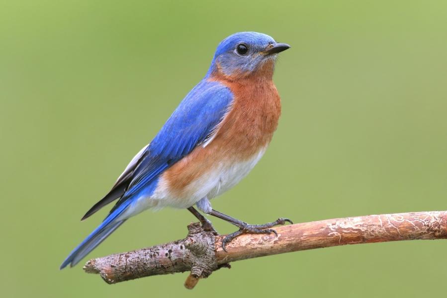 Male Bluebird.jpg