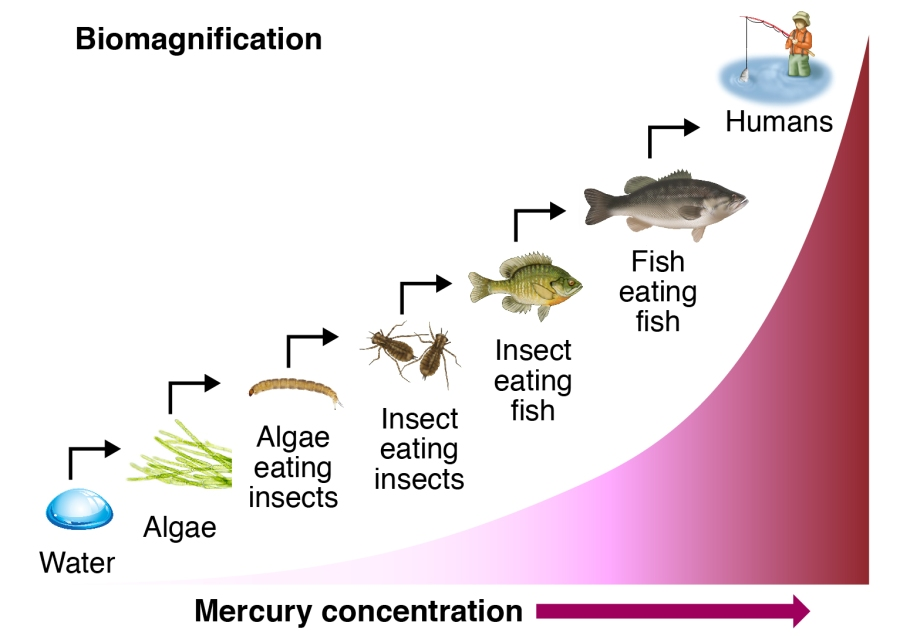 biomagnification of mercury